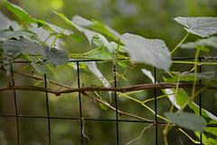 Twining Vines (BKHagar *Kim*) Tags: bkhagar vine vines twining tangle fence leaves nature