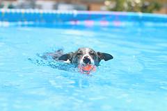 21/52 ... Little Otter ... (.Lils.) Tags: fury 52weeksfordogss 52weeksfordogs koolie australiankoolie bluemerle merle herdingdog pool