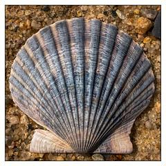 Cape Scallop (Timothy Valentine) Tags: 2018 beach large 0518 allnatural macromonday shell falmouth massachusetts unitedstates us