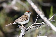 Chipping Sparrow,  Spizella passerina (jlcummins - Washington State) Tags: bird bethelridge yakimacounty washingtonstate wildlife nature tamronsp150600mmf563divcusd canon spizellapasserina
