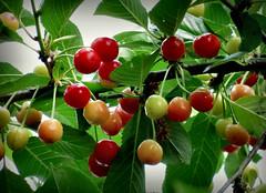 jetzt geht es Schlag auf Schlag (karin_b1966) Tags: baum tree pflanze plant garten garden frucht fruit natur nature 2018 kirsche cherry schattenmorelle