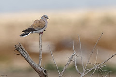 European Turtle dove (Dave 5533) Tags: europeanturtledove dove bird outdoor nature wild animal tree sky streptopeliaturtur canon1dx canon300mmf28 canoneos1dx naturephotography birdphotography birdsinisrael inexplore pigeons turtledoves