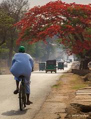 Morning Ride (Irene Becker) Tags: gamjigate africa imagesofnigeria kaduna kadunastate nigeria nigerianimages northnigeria ribaduroad royalpoinciana westafrica biking northernnigeria