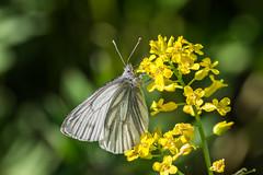 Butterfly (Jontsu) Tags: butterfly perhonen luonto nature kesä summer flower suomi finland nikon d7200 sigma 105mm macro