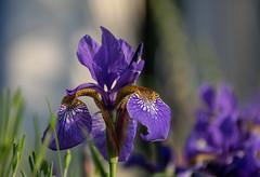 Iris (Shastajak) Tags: irissibirica mygarden bokeh