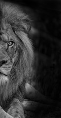 Lion (nicolas_bailly333) Tags: nikon d750 sigma 150600 150 600 lion pairi daiza belgium zoo animals animaux africa afrique king roi black white noir blanc