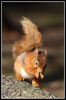 IMG_0092 Red Squirrel