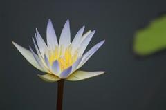 IMG_8261 (Usagi93190) Tags: water lily delicate naples florida botanical gardens flower macro proxi outdoors nature