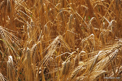 Пшениця, жито, овес InterNetri  Ukraine 045