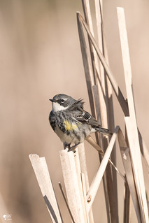 ''Brise est douce!'' paruline a croupion jaune-Yellow-rumped warbler