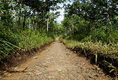 Road on a rubber plantation / Дорога на каучуковой плантации (Vladimir Zhdanov) Tags: travel indonesia bali road nature forest tree grass soil wood sky