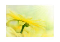 Sun worshipper (Karsten Gieselmann) Tags: 60mmf28 blumen blüten dof em5markii farbe gelb mzuiko margerite microfourthirds natur olympus pflanzen schärfentiefe textur blossom color daisy flower kgiesel m43 mft nature texture yellow