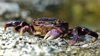 187 (3) Purple Shore Crab