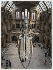 Natural History Museum London (Karl Snell) Tags: scale giant learning fun holiday travel history natural height handheld hdr whale bones old archeitecture museum england uk london iphone