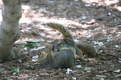 Squirrels in Ann Arbor at the University of Michigan (May 29th, 2018) (cseeman) Tags: gobluesquirrels squirrels annarbor michigan animal campus universityofmichigan umsquirrels05292018 spring eating peanut mayumsquirrel juveniles juvenilesquirrels