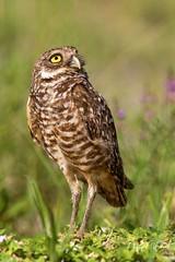 """ My Little Buddy"" (PNWheat) Tags: marcoisland burrowingowl fiddlerscreek wildflowers birdofprey"