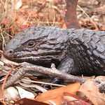 "Shingleback DSCN9732 <a style=""margin-left:10px; font-size:0.8em;"" href=""http://www.flickr.com/photos/61627737@N03/42455635492/"" target=""_blank"">@flickr</a>"