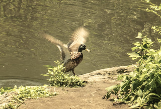 Duck At Pond in Central Park Showing Of Its Wing Span After Taking A Swim In Pond