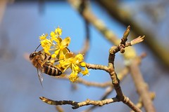 A honey bee seking nectar and pollen on a European cornel. (Bienenwabe) Tags: europeancornel cornel cornusmas cornus honigbiene biene apis apismellifera apiaceae bee hoenybee spring springflowers tongue llippentaster bienenzunge rüssel glossa
