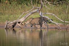 A Jaguar in the Piquiri River (Tony Costa (eTravelPhotos)) Tags: matogrossodosul brazil br jaguar piquiri pantanal southamerica jaguars mammals cats wildlife