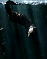 African River Otter (In Explore) (Rackelh) Tags: otter animal water mammal swimming zoo toronto canada