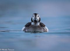 Alli-8026 (Markku Teiramaa) Tags: arctictourist båtsfjord clangulahyemalis havelle longtailedduck markkuteiramaa norge norja norway sjøfugler alli merilintu seabird talvi vesilintu waterfowl ørjanhansen