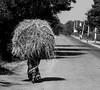 Miles to go..., (senguptapulak) Tags: womanheapstrawwalkmileshardjobpoorstreetphoto india central black white