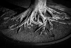tree  #8155 (lynnb's snaps) Tags: manly nikon1v1 digital nature roots tree 2018 patterns sydney australia blackandwhite bw bianconegro bianconero blackwhite biancoenero blancoynegro monochrome schwarzweis noiretblanc
