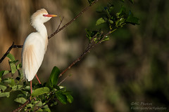 Perched In Pretty Plumage - The Eager Egret Awaits (ac4photos.) Tags: egret cattleegret bird breeding plumage florida wetlands nature wildlife animal naturephotography wildlifephotography birdphotography animalphotography nikon d500 tamron150600mm ac4photos ac
