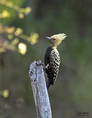 Ochre-backed Woodpecker (Celeus ochraceus)