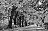 Trees and street (lroberg) Tags: topazadjust topaz adjust oaks spanishmoss trees georgia street shadows south