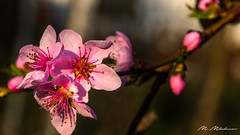 Peach blooming (Milen Mladenov) Tags: 2018 d7200 nikon resco blooming blossom branch flora floral flowers garden nature naturephotography nikond7200 peach peachblossom pink spring