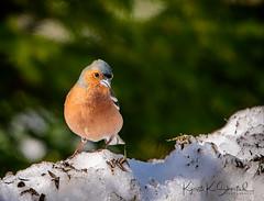 _DSC3675-Edit (Kjersti Koløen Skistad) Tags: common chaffinch bokfink bird snow spring sonya7riii