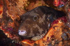 Ugly Map Puffer (Gomen S) Tags: animal wildlife nature underwater ocean marine lembeh indonesia 2017 winter asia tropical sony sonyflickraward rx100v nauticam fish