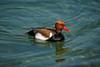 Kolbenente (markus_kaeppeli) Tags: duck ente bird vogel wasser water red rot