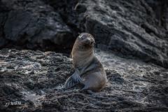 Fur Seal, Galapagos Islands (Luis Granada) Tags: galapagos furseal seal galapagosislands wild wildlife seals ecuador southamerica