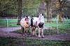 Pferde. (jens.steinbeisser) Tags: helios44258mmf2 deutschland tierfotografie m42objektiv rawtherapee pentaxk5ii niedersachsen outdoor bokeh pferd
