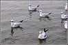 7766 - gulls (chandrasekaran a 47 lakhs views Thanks to all) Tags: gulls birds nature india varanasi canonpowershotsx60