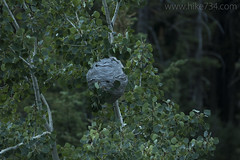 """Hornet Nest • <a style=""""font-size:0.8em;"""" href=""""http://www.flickr.com/photos/63501323@N07/27424760888/"""" target=""""_blank"""">View on Flickr</a>"""