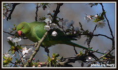 Parakeet (maryimackins) Tags: parakeet st james park london wildlife spring blossom mary mackins