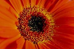 Macro Monday - Circles (jmiller35) Tags: canon pollen fleur flores nature flowers macro closeup circles macromonday