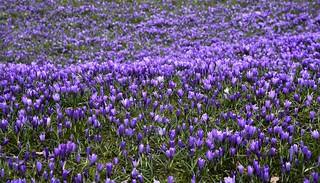 Krokusblüte in Husum - eine blaue Welle; Nordfriesland (132)