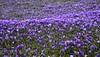 Krokusblüte in Husum - eine blaue Welle; Nordfriesland (132) (Chironius) Tags: husum schleswigholstein nordfriesland deutschland germany allemagne alemania germania германия niemcy grauestadt blüte blossom flower fleur flor fiore blüten цветок цветение asparagales schwertliliengewächse iridaceae krokusse crocus crocusnapolitanus blau explored