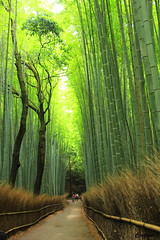 Sagano Bamboo Forest (cattan2011) Tags: 京都 nationalpark bamboo woodlands forests traveltuesday travelphotography travelbloggers travel naturelovers natureperfection naturephotography nature landscapephotography landscape 日本 naganobmbooforest kyoto japan