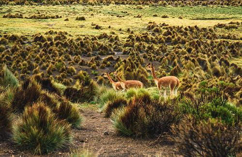 wary vicuñas