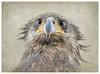 What, you want me to fly ? (Krasne oci) Tags: bird birdofprey raptor closeup portrait eyes beak evabartos wildbird wildlife texturedphoto painterly photographicart artphotography