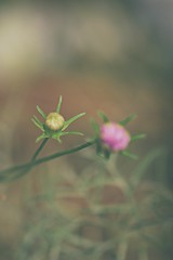 The unlikely winner (Azmarina Tanzir) Tags: bud bulb flower macro macrounlimited pink green bokeh blur plant