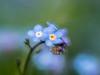 Myosotis Alpestris (de_frakke) Tags: bloem flower blauw blue doubleexposure