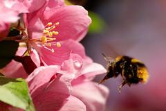 Im Anflug (Carsten Weigel) Tags: hummel bumblebee blossom blüte carstenweigel apple apfel spring frühling nikond90 wildlife insect makro insekt macro