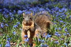 313/365/3600 (April 20, 2018) - Squirrels in Ann Arbor at the University of Michigan (April 20th, 2018) (cseeman) Tags: gobluesquirrels squirrels annarbor michigan animal campus universityofmichigan umsquirrels04202018 spring eating peanut aprilumsquirrel art flowers wildflowers scilla 2018project365coreys yeartenproject365coreys project365 p365cs042018 356project2018 foxsquirrels easternfoxsquirrels michiganfoxsquirrels universityofmichiganfoxsquirrels calendar2019 cgsbestsquirrelpics201819
